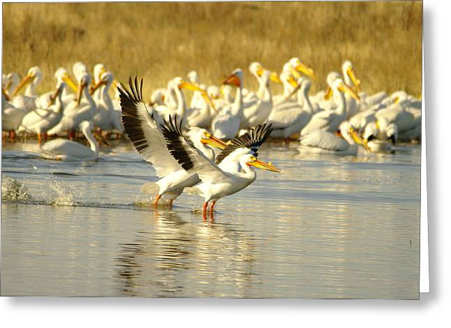 Water Fowl Greeting Cards - Two Pelicans Landing Greeting Card by Jeff  Swan