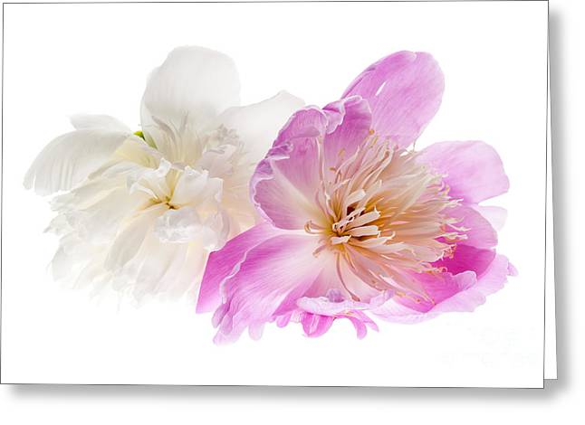 Peony Greeting Cards - Two peony flowers Greeting Card by Elena Elisseeva