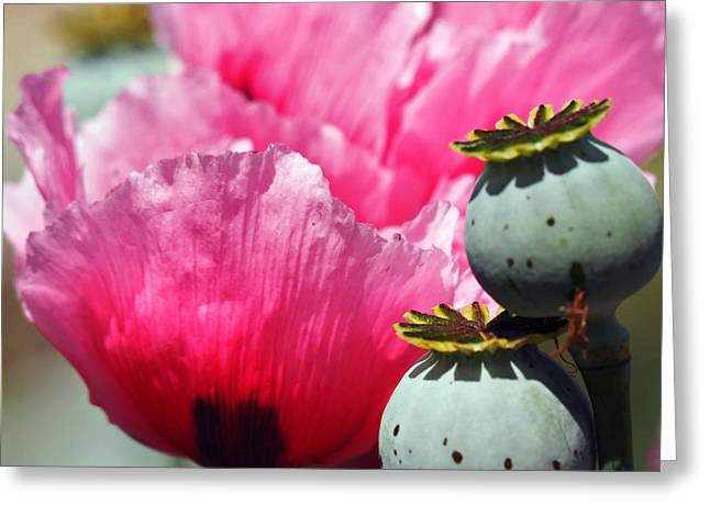 Cocoon Greeting Cards - Two Pods and Pink Greeting Card by Joe Schofield