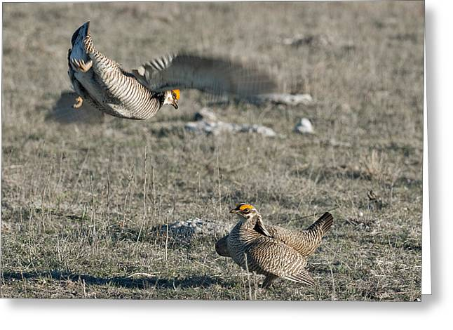 Prairie Chicken Greeting Cards - Two Prairie Chickens fighting Greeting Card by Gary Langley