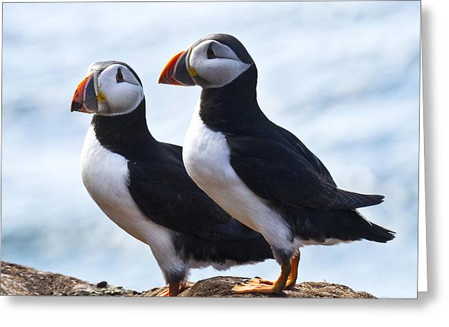 Aquatic Bird Greeting Cards - Two Puffins just Landed on Hornoya Greeting Card by Heiko Koehrer-Wagner