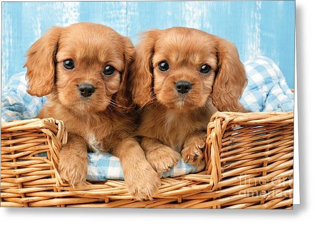Spaniel Greeting Cards - Two Puppies in Woven Basket DP709 Greeting Card by Greg Cuddiford