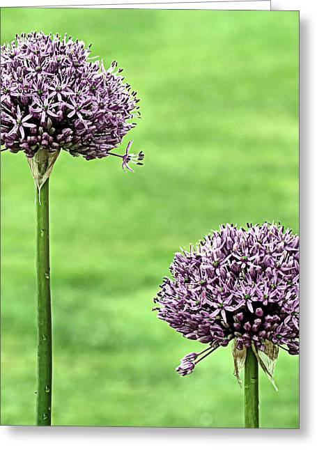 Purple Sensation Greeting Cards - Two Purple Sensation Alliums Greeting Card by Janice Drew