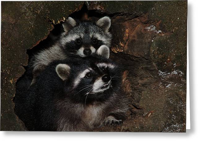 Two Raccoons Greeting Card by Ulrich Kunst And Bettina Scheidulin
