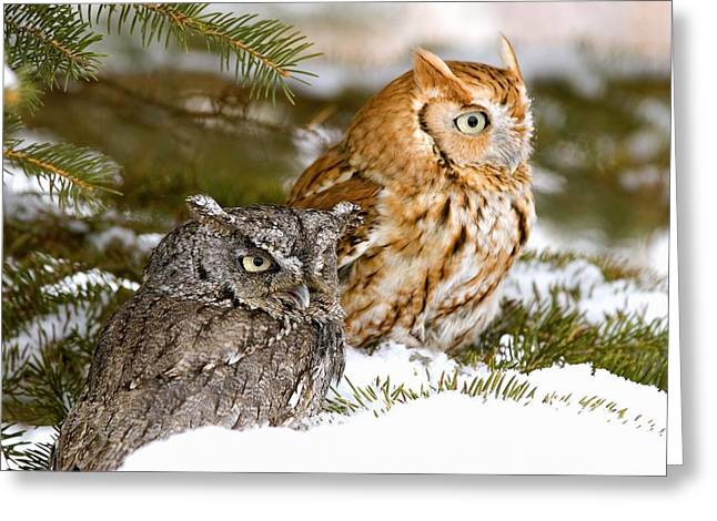 Two Screech Owls Greeting Card by John Pitcher