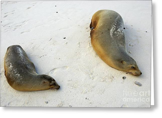 Exhaustion Greeting Cards - Two Sea lions sleeping on beach Greeting Card by Sami Sarkis