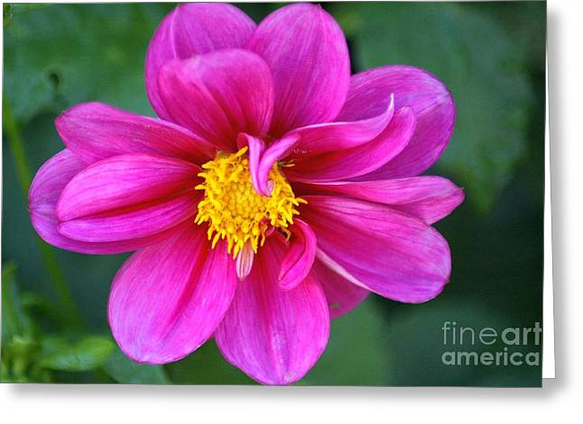 Nature Greeting Cards - Two Shades of Pink Dahlia Greeting Card by Mrsroadrunner Photography