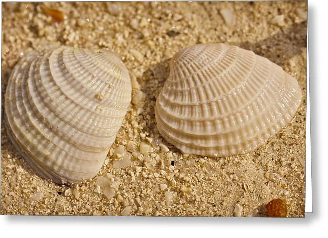 Nature Study Greeting Cards - Two Shells Greeting Card by Adam Romanowicz