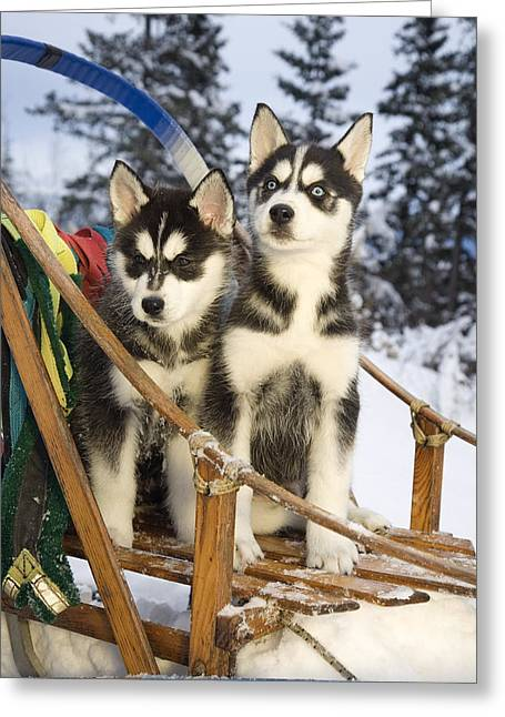 Sled Dogs Greeting Cards - Two Siberian Husky Puppies Sitting In Greeting Card by Jeff Schultz