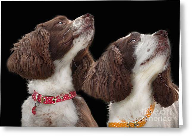 Spaniel Greeting Cards - Two spaniels Greeting Card by Linsey Williams