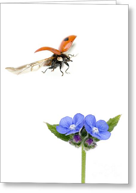 Two Spot Ladybug Greeting Card by Mark Bowler