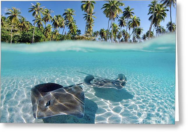 Undersea Art Greeting Cards - Two Stingrays 1 Greeting Card by M Swiet Productions