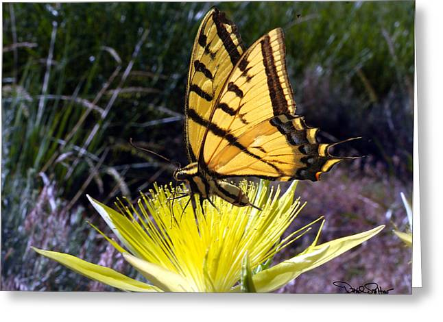 Two Tailed Photographs Greeting Cards - Two-tailed Swallowtail Greeting Card by David Salter