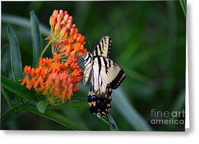 Two Tailed Photographs Greeting Cards - Two-Tailed Swallowtail Greeting Card by Holden Parker
