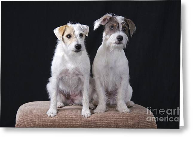 Mutt Jack Greeting Cards - Two Terriers Greeting Card by Sean Griffin