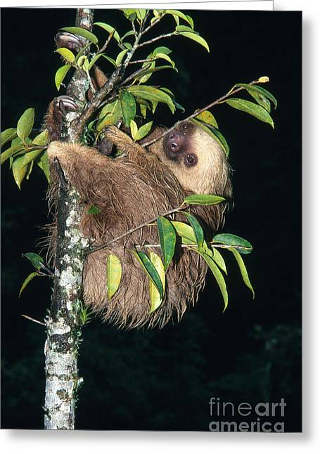 Sloth Greeting Cards - Two-toed Sloth Choloepus Didactylus Greeting Card by Anthony Mercieca