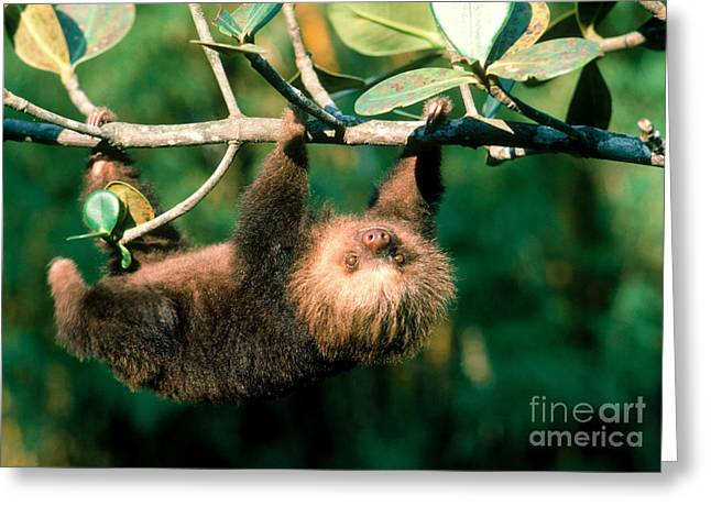 Sloth Greeting Cards - Two-toed Sloth Greeting Card by Gregory G. Dimijian, M.D.
