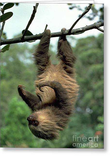 Sloth Greeting Cards - Two-toed Sloth Juvenile Greeting Card by Gregory G. Dimijian, M.D.