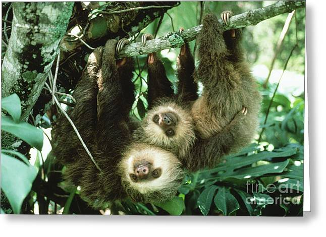 Sloth Greeting Cards - Two-toed Sloths Greeting Card by Gregory G. Dimijian