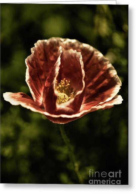 Two Toned Poppy Greeting Card by Venetta Archer