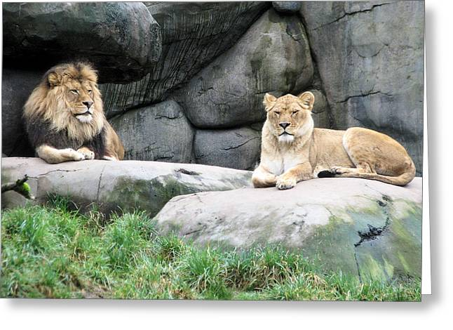 Lioness Greeting Cards - Two Tranquil Lions Greeting Card by Lora Fisher
