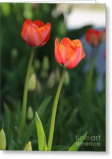 Limelight Greeting Cards - Two Tulips Greeting Card by Carol Groenen