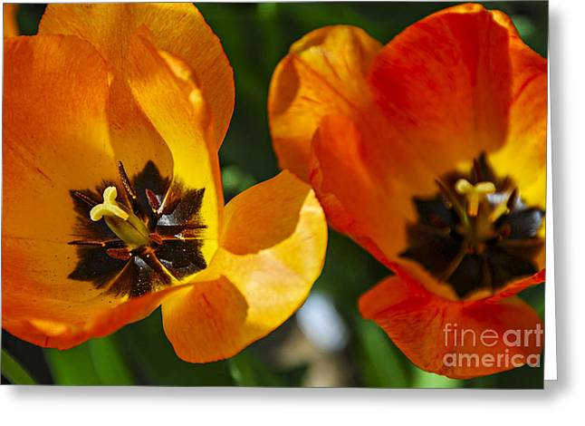 Tulip Blossom Greeting Cards - Two tulips Greeting Card by Elena Elisseeva