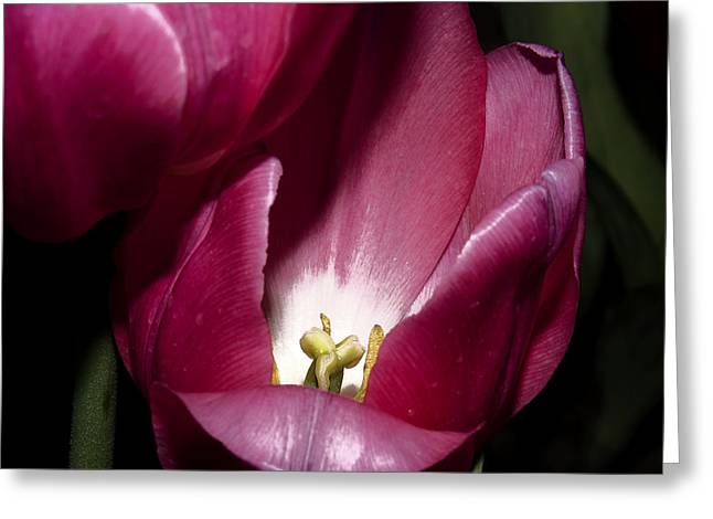 Stamen Digital Art Greeting Cards - Two Tulips Touching Greeting Card by Camille Lopez