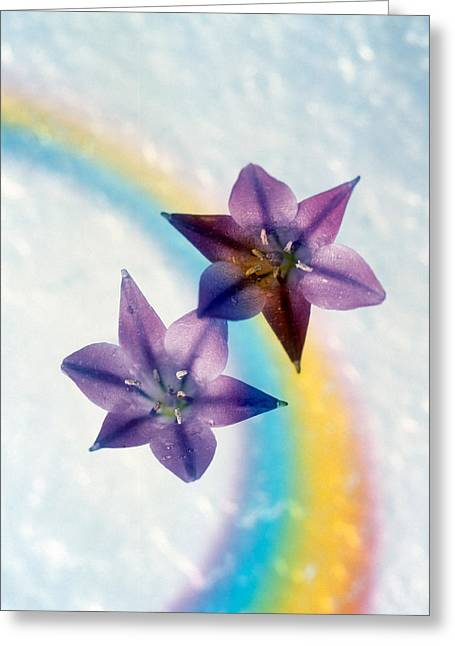 Floating Flowers Greeting Cards - Two Violet Flower On White Blue Greeting Card by Panoramic Images