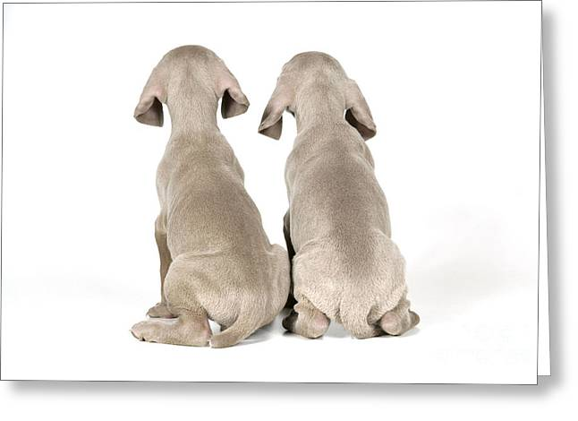 Two Weimaraner Puppies Greeting Card by John Daniels