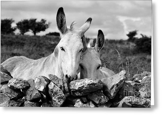 Donkey Greeting Cards - Two white Irish donkeys Greeting Card by RicardMN Photography