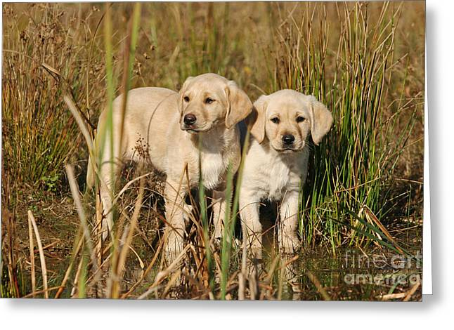 Dog Play Sea Greeting Cards - Two yellow Labrador Retriever puppies standing in water Greeting Card by Dog Photos
