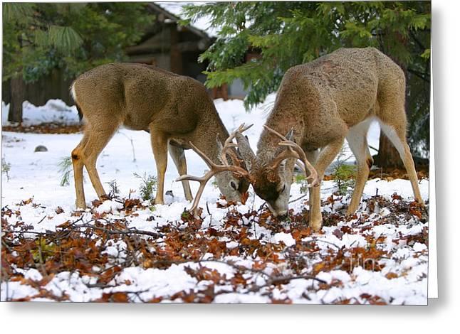 Grazing Snow Greeting Cards - Two Young Mule Deer Bucks Forage For Food   Odocoileus hemionus Greeting Card by Susan McKenzie