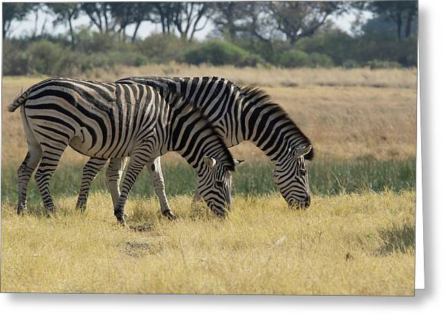 Two Zebras Eating Grass, Moremi Game Greeting Card by Panoramic Images