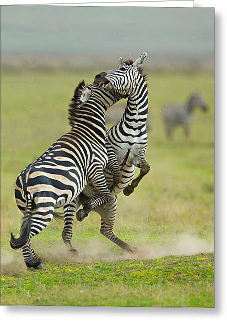 Craters Greeting Cards - Two Zebras Fighting In A Field Greeting Card by Panoramic Images