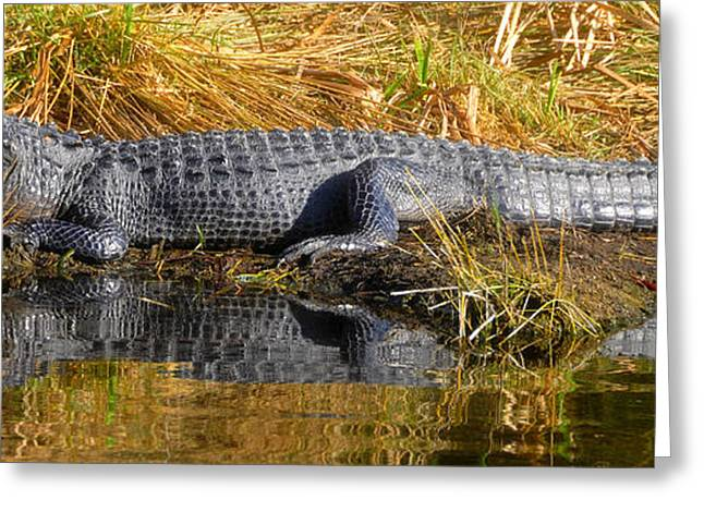 Florida Gators Greeting Cards - Gator in reflection Greeting Card by David Lee Thompson