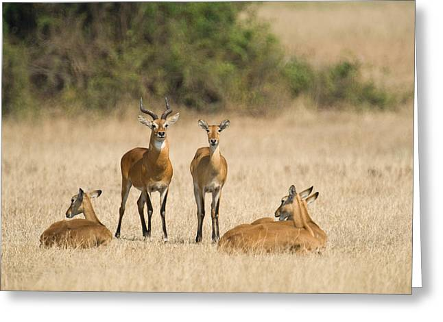 Female Animal Greeting Cards - Ugandan Kobs Kobus Kob Thomasi Mating Greeting Card by Panoramic Images