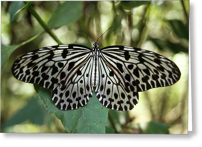 Natural Patterns Greeting Cards - UGlassy Tiger Butterfly Greeting Card by Anonymous