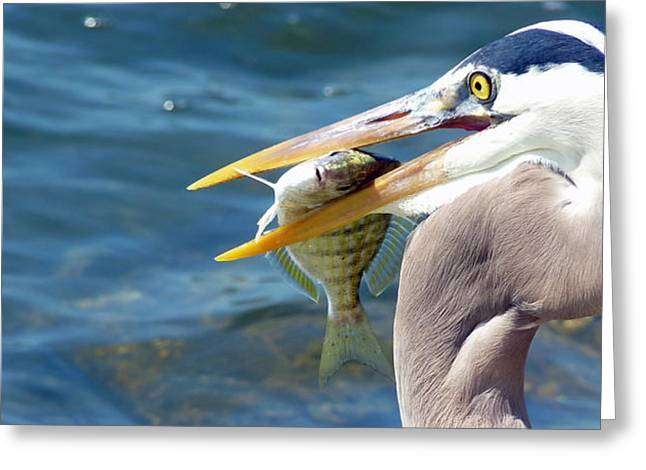 Pinfish Greeting Cards - Uh Oh Greeting Card by Susan Duda