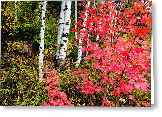 Red Leaves Greeting Cards - Uinta Colors Greeting Card by Chad Dutson
