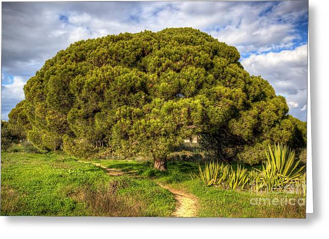 Umbrella Pine Greeting Cards - Umbrella Pine Greeting Card by English Landscapes
