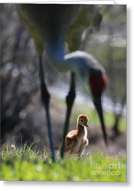 Sandhill Crane Chicks Greeting Cards - Under Foot Greeting Card by Carol Groenen