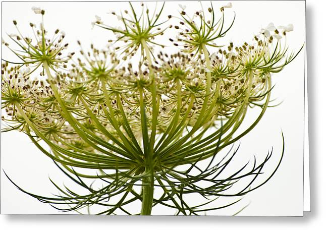 Reach Greeting Cards - Under Queen Annes Lace Greeting Card by Christi Kraft