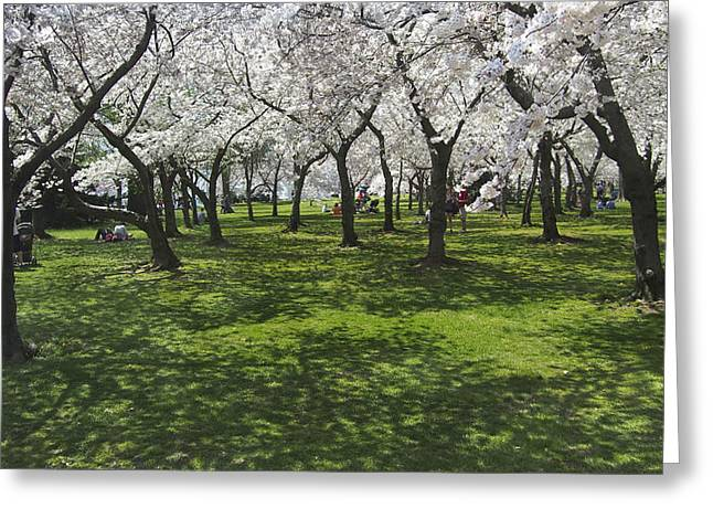 National Mall Greeting Cards - Under the Cherry Blossoms - Washington DC. Greeting Card by Mike McGlothlen