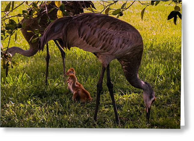 Sandhill Crane Greeting Cards - Under The Orange Tree Greeting Card by Zina Stromberg