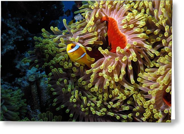 Scuba Diving Pyrography Greeting Cards - Underwater 10 - A clownfish in Red Sea Greeting Card by Markus Stepel