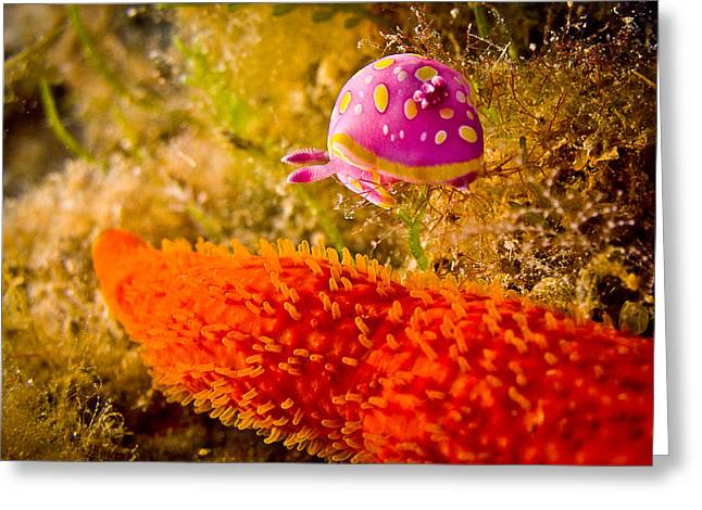 Underwater Diva Pyrography Greeting Cards - Underwater 12 - A nudibranch near a starfish  Greeting Card by Markus Stepel