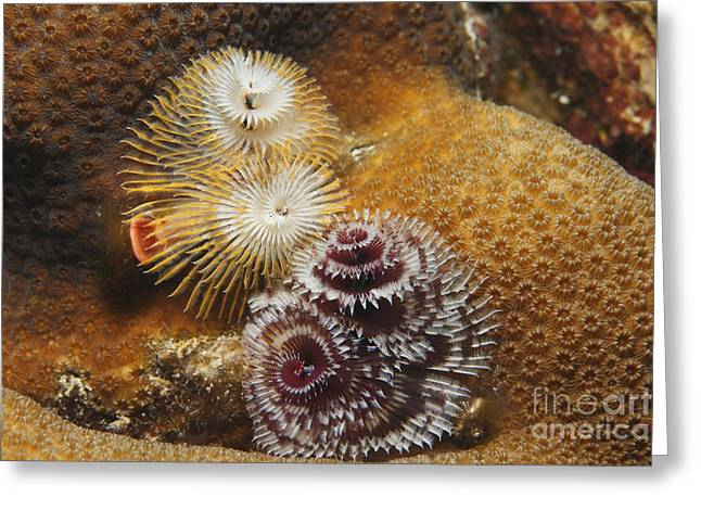Greater Antilles Greeting Cards - Underwater fauna and flora. Greeting Card by V Devolder