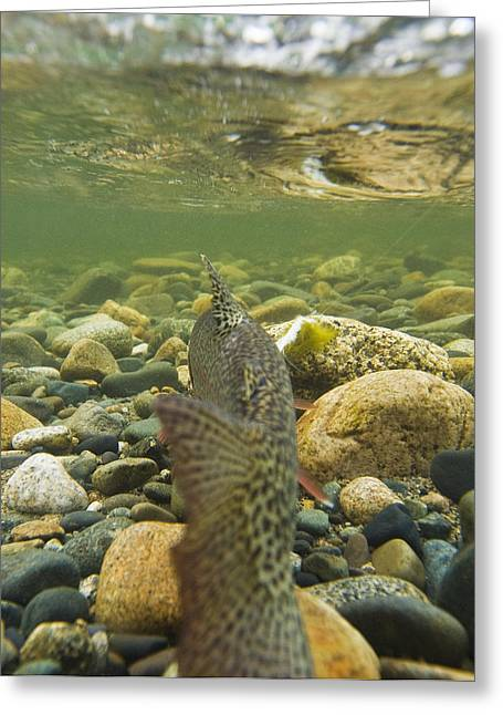 Rainbow Trout Greeting Cards - Underwater View Of A Rainbow Trout Greeting Card by Greg Martin