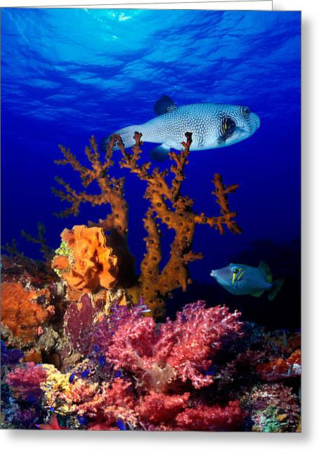 Underwater View Of Bristly Puffer Fish Greeting Card by Panoramic Images